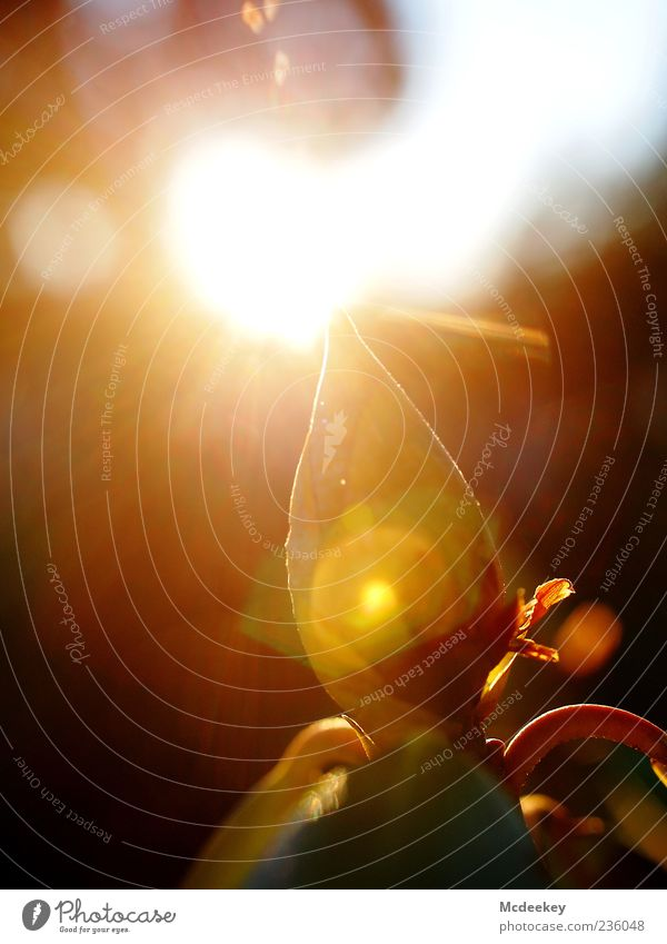 vernal reflection Natur Baum Pflanze Sommer gelb Blüte braun gold geschlossen natürlich Spitze nah Blütenknospen Sonnenuntergang Gegenlicht Sonnenaufgang