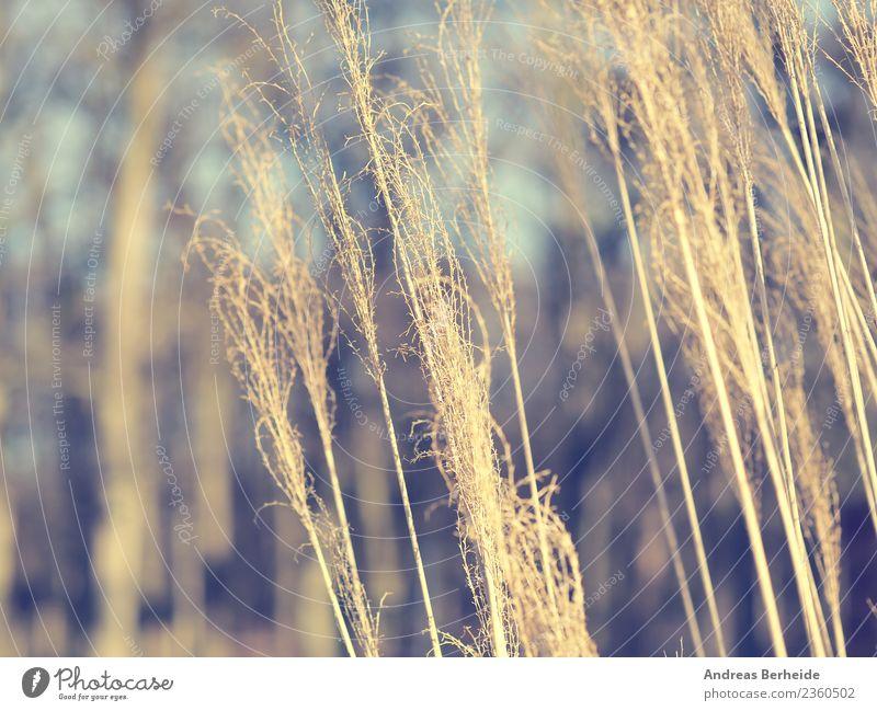 Pampasgras Detailaufnahme Natur Pflanze Sommer Winter gelb kalt Park Wind