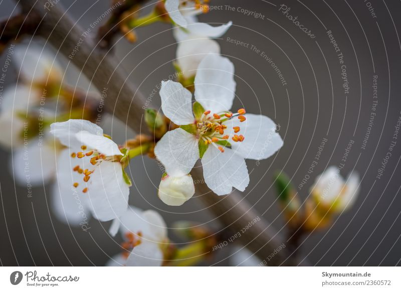 Erste Blüte des Jahres Umwelt Natur Pflanze Tier Klima Wetter Schönes Wetter Baum Blatt Garten Park Wiese Feld Wald Berge u. Gebirge braun grün orange weiß