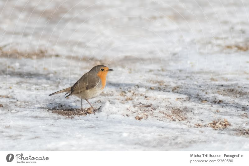 Laufendes Rotkehlchen im Schnee Natur weiß Sonne Tier Winter gelb Bewegung klein Vogel orange Sand gehen Wildtier Feder laufen