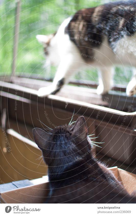 catwalk Tier Bewegung liegen gehen beobachten Fell Balkon Haustier Gleichgewicht Pfote Blumenkasten