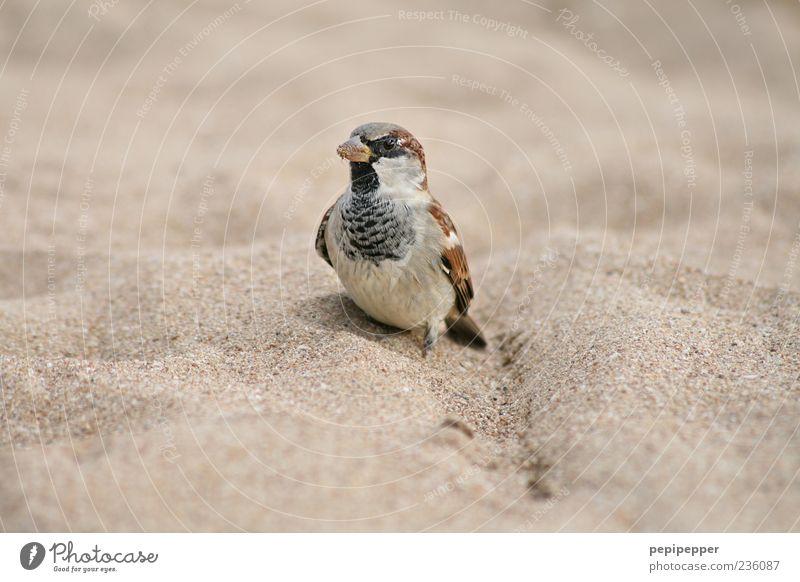 piepmatz Natur Sommer Strand Tier Sand braun Vogel Küste klein Umwelt sitzen stehen Tiergesicht Flügel niedlich Spatz