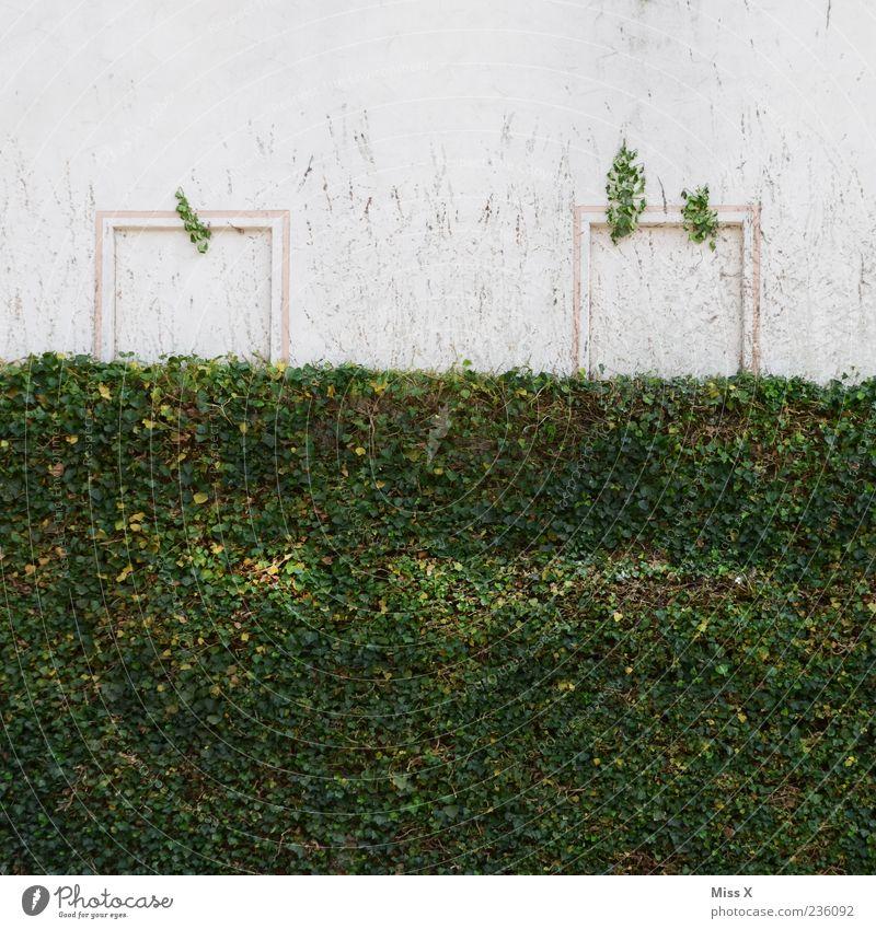 Ein Gesicht! Pflanze Sträucher Efeu Mauer Wand grün Smiley Farbfoto Außenaufnahme Menschenleer Textfreiraum oben Fensterrahmen weiß außergewöhnlich Sonnenlicht