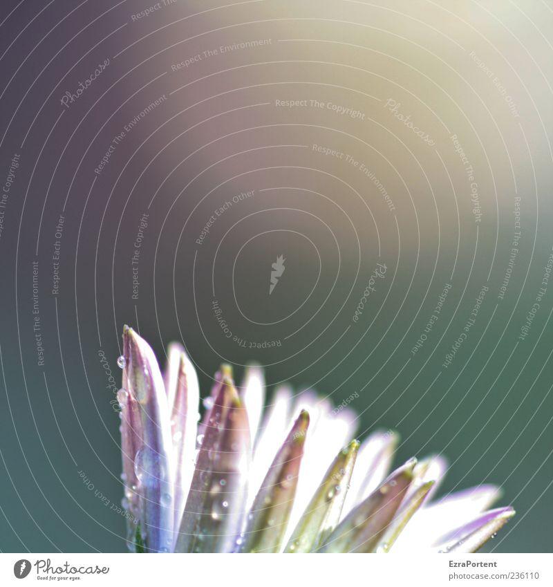 Blüte (mit Aura) Umwelt Natur Landschaft Pflanze Wasser Wassertropfen Sonnenlicht Frühling Sommer Blume leuchten hell natürlich schön mehrfarbig grün rosa weiß