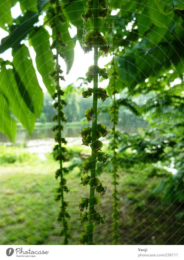 Grünes Lametta Natur Baum grün Pflanze ruhig Blatt Wiese Frühling Park Stimmung Klima Seeufer hängend Pflanzenteile herunterhängend