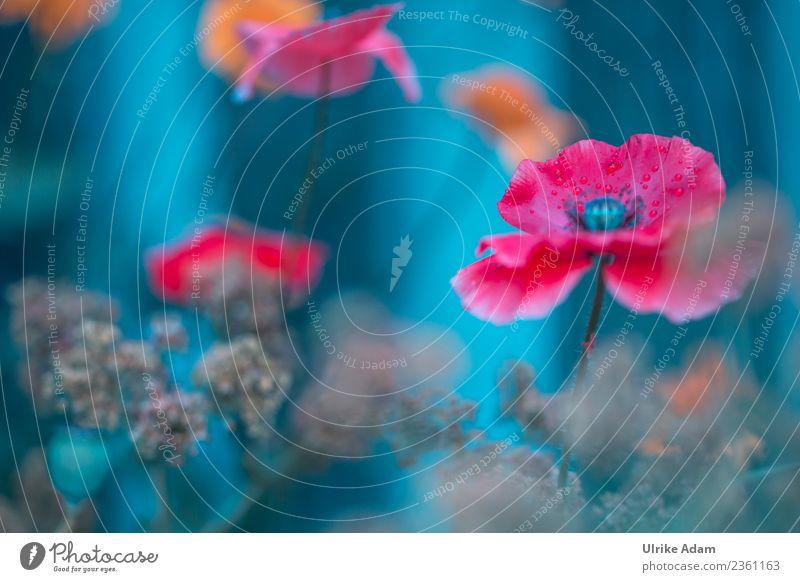 Mohnblüte - Blumen und Natur Pflanze Sommer blau rot Erholung ruhig Frühling Blüte Stil Garten außergewöhnlich Design wild Park
