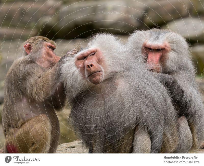 Pavian Pacha Tier Wildtier Tiergesicht Fell Zoo Affen 3 Tiergruppe Rudel Gelassenheit geduldig ruhig lausen Farbfoto Außenaufnahme Tag Licht Unschärfe