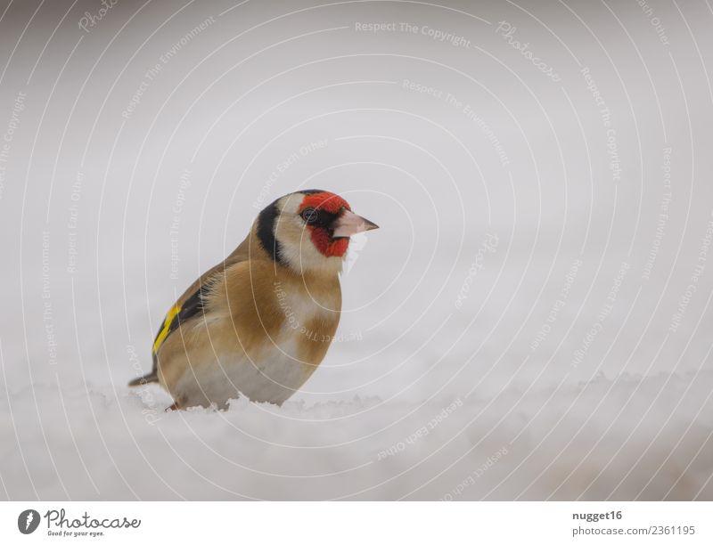 Stieglitz im Schnee Umwelt Natur Tier Frühling Herbst Winter Schönes Wetter Eis Frost Schneefall Garten Park Wiese Feld Wald Wildtier Vogel Tiergesicht Flügel