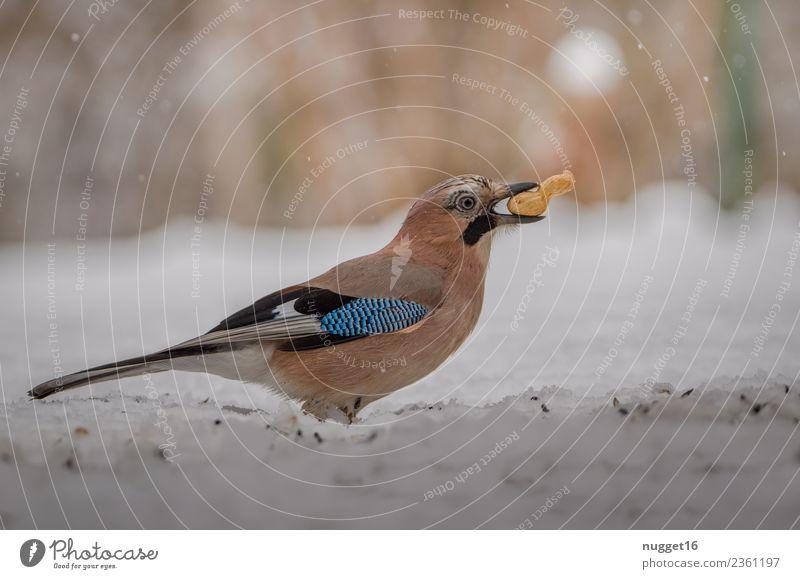 Eichelhäher mit Erdnuss Umwelt Natur Landschaft Tier Herbst Winter Schönes Wetter Eis Frost Schnee Schneefall Sträucher Garten Park Wiese Wald Wildtier Vogel