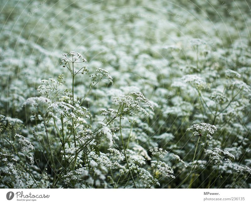 Unkraut Natur weiß grün Pflanze Umwelt Wiese Blüte