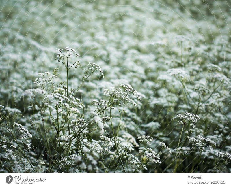 Unkraut Umwelt Natur Pflanze grün weiß Wiese Blüte Farbfoto Außenaufnahme Nahaufnahme Tag Schwache Tiefenschärfe Menschenleer Unschärfe