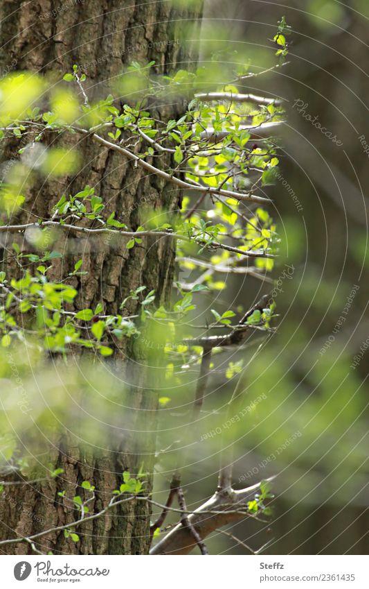 Frühling Umwelt Natur Pflanze Baum Blatt Blattknospe Laubbaum Baumrinde Baumstamm Jungpflanze Zweig Wald Wachstum natürlich neu schön braun grün