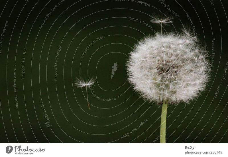 Pusteblume Natur Luft Pflanze Blume Blüte fliegen mehrfarbig grün weiß Bewegung Farbfoto Außenaufnahme Nahaufnahme Detailaufnahme Tag Kontrast Menschenleer