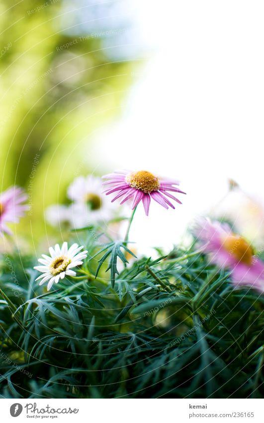 Margerite Umwelt Natur Pflanze Sonnenlicht Sommer Blume Blüte Blühend Wachstum schön rosa weiß Frühlingsgefühle Farbfoto Nahaufnahme Tag Licht Kontrast