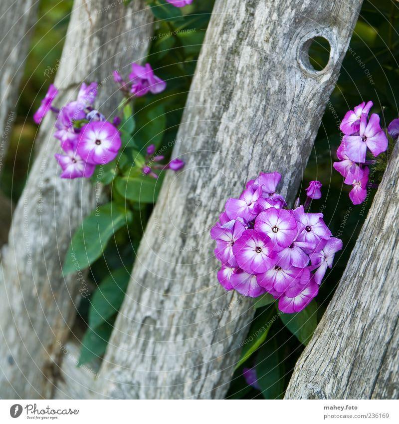 Zaungast Pflanze Sommer Blume Blüte Holz Phlox violett grau Gartenzaun grün Farbfoto Außenaufnahme Nahaufnahme Menschenleer Dämmerung Schwache Tiefenschärfe