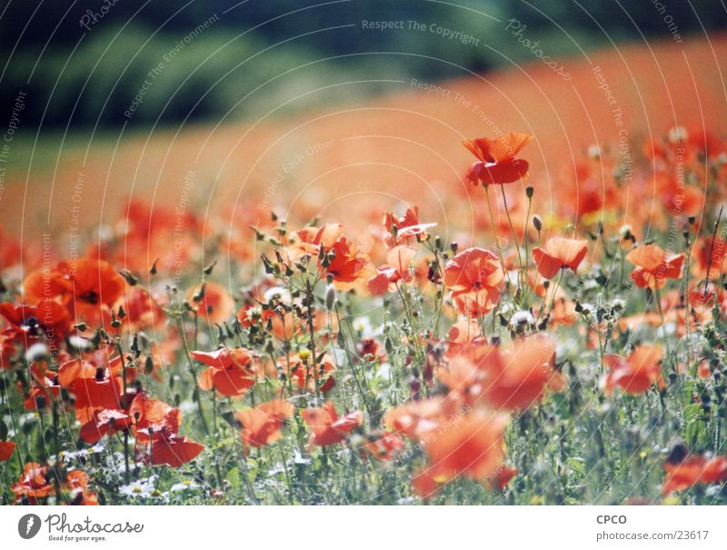 Mohnfeld one Blume Wiese Blumenwiese Sommer