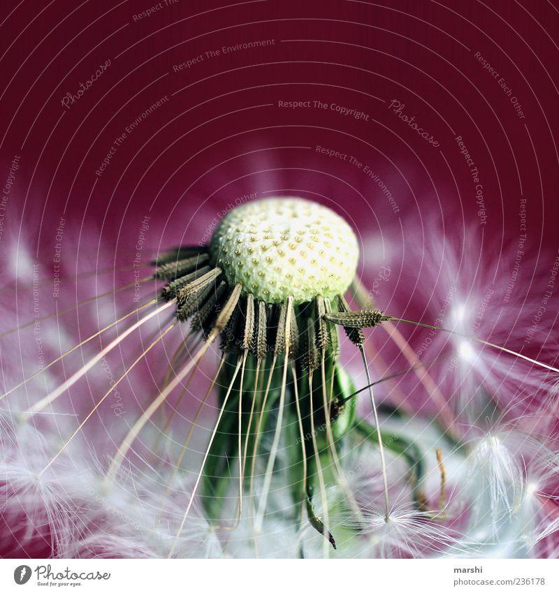 Pusteblume Natur schön Pflanze Sommer Blume Frühling violett Löwenzahn Samen Grünpflanze magenta Blütenstempel
