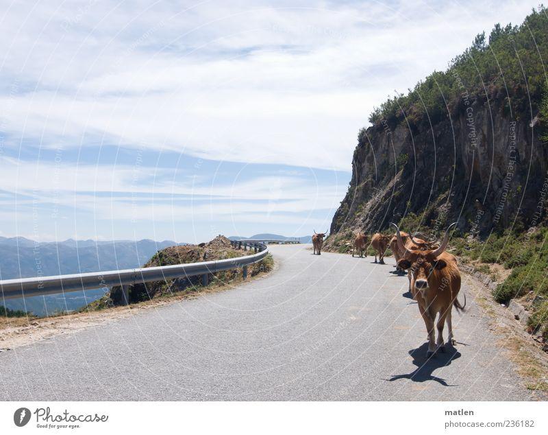 caravana Haustier Nutztier Kuh Herde laufen wandern heiß hell blau braun grau Gelassenheit Wege & Pfade Straße Felsen Himmel Wolken Traverse Berge u. Gebirge