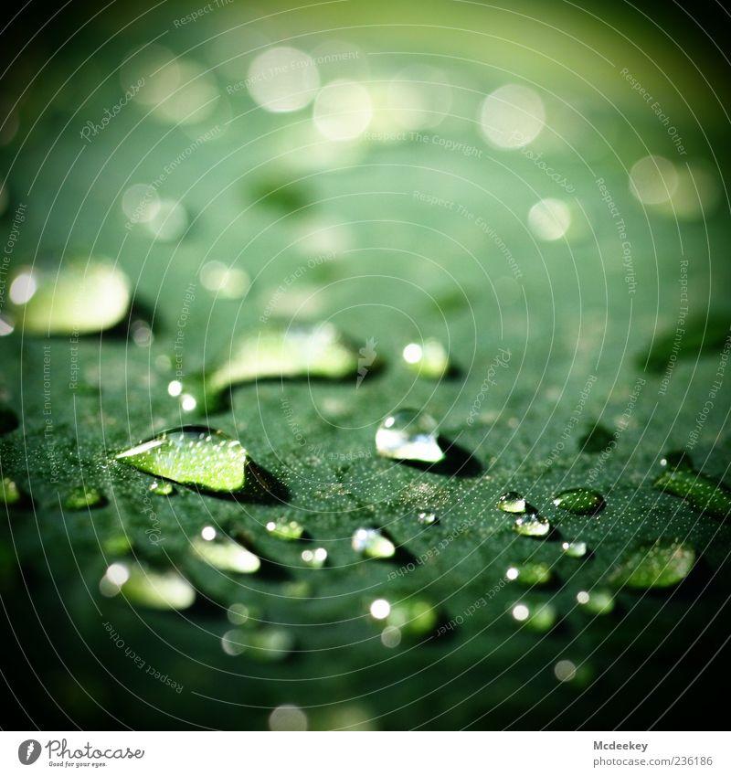 heavenly tears (1) Natur Wasser grün Pflanze Sommer Blatt schwarz gelb kalt glänzend natürlich nass frisch Wassertropfen authentisch Schönes Wetter