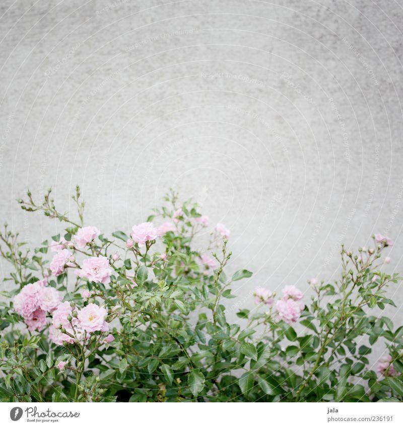 rosa rosen Natur Pflanze Blume Rose Blatt Blüte Mauer Wand Fassade ästhetisch schön Farbfoto Außenaufnahme Menschenleer Textfreiraum oben Hintergrund neutral