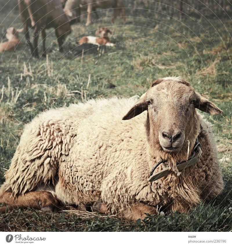 Bernd das Brot Umwelt Natur Tier Wiese Weide Nutztier Tiergesicht 1 liegen Blick authentisch dick lustig natürlich niedlich braun Schaf Wolle Landleben