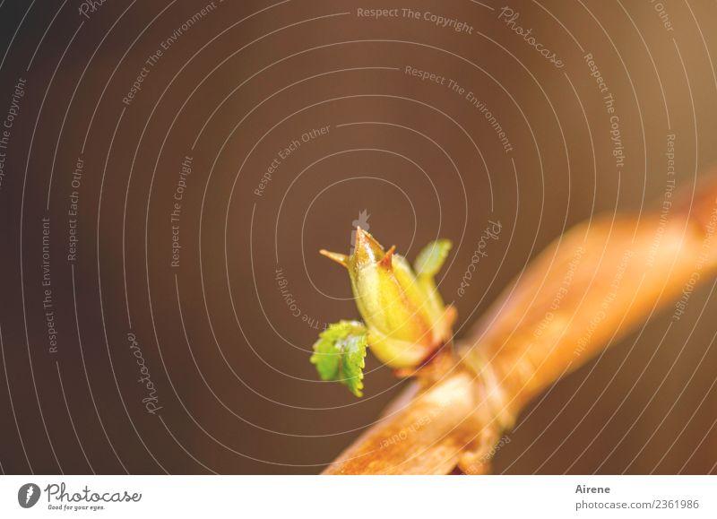 Spring! Pflanze schön grün gelb natürlich klein orange gold Wachstum Sträucher Beginn Neugier neu positiv Vorfreude Blattknospe