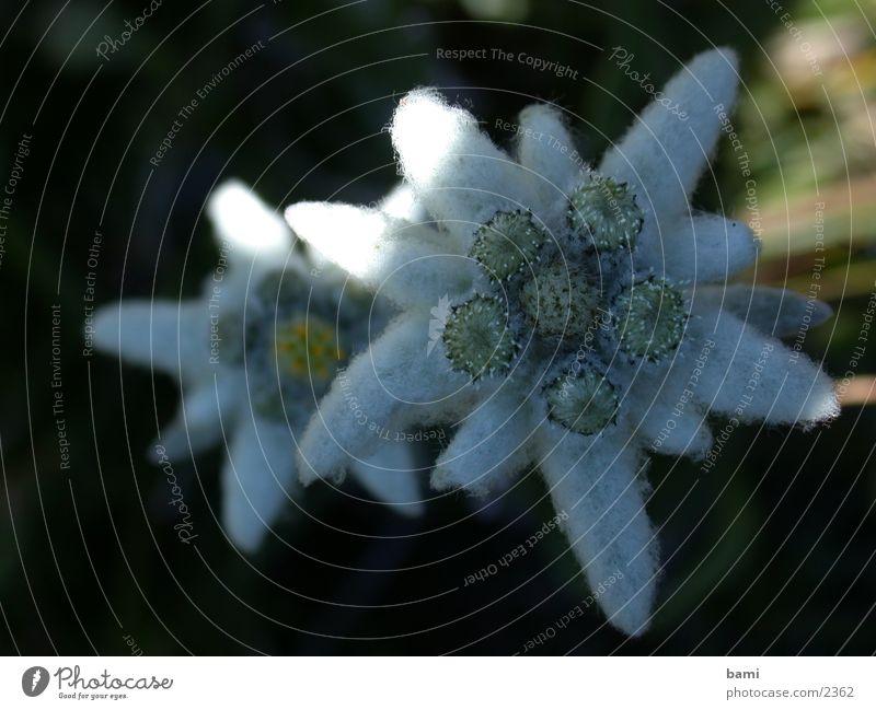 Makro Edelweiss Edelweiß Bergblume Makroaufnahme