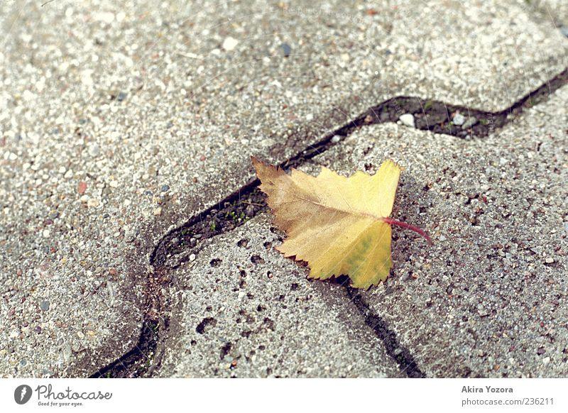 Grenzen überschreiten Natur alt Blatt Einsamkeit gelb Herbst grau Stein braun liegen Beginn Vergänglichkeit nah Herbstlaub Fuge Pflastersteine