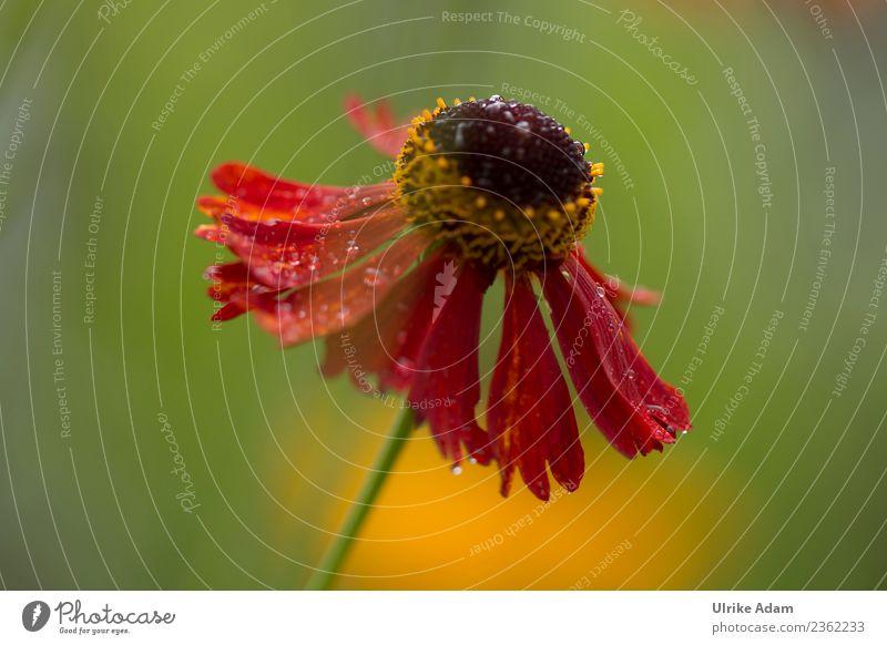 Tropfnass - Die Sonnenbraut Natur Pflanze Wassertropfen Sonnenlicht Sommer Herbst Blume Blüte Helenium Sneezeweed Garten Park Blühend außergewöhnlich natürlich