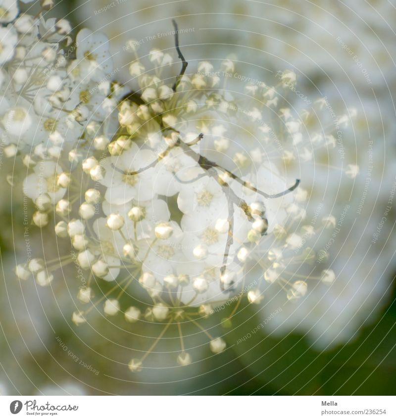 Eines Frühlings Natur Pflanze Blüte Blühend schön natürlich grün weiß Surrealismus Doppelbelichtung Ast überlagert Farbfoto Außenaufnahme