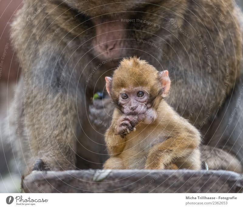 Affenbaby mit Hamsterbacken Ernährung Kindheit Natur Tier Sonne Wildtier Tiergesicht Fell Pfote Berberaffen Äffchen Auge Finger 2 Tierjunges glänzend füttern