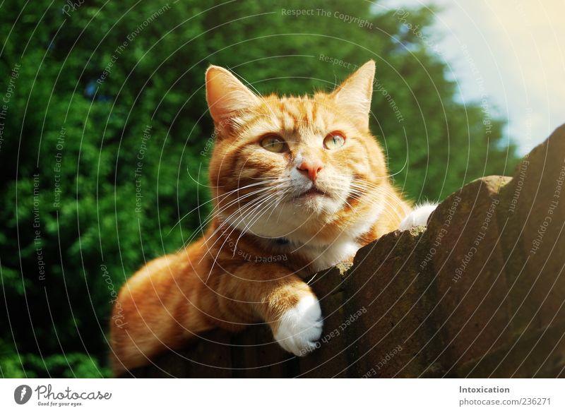 Teddybear Haustier Katze natürlich Gelassenheit Farbfoto Außenaufnahme Textfreiraum links Tag Kontrast Schwache Tiefenschärfe Froschperspektive Tierporträt
