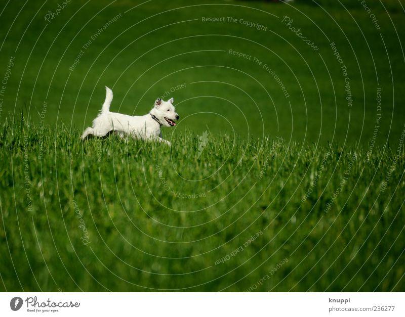 Frostie Hund weiß grün Tier Wiese Spielen Gras springen Tierjunges wild Fell rennen frech Haustier Terrier