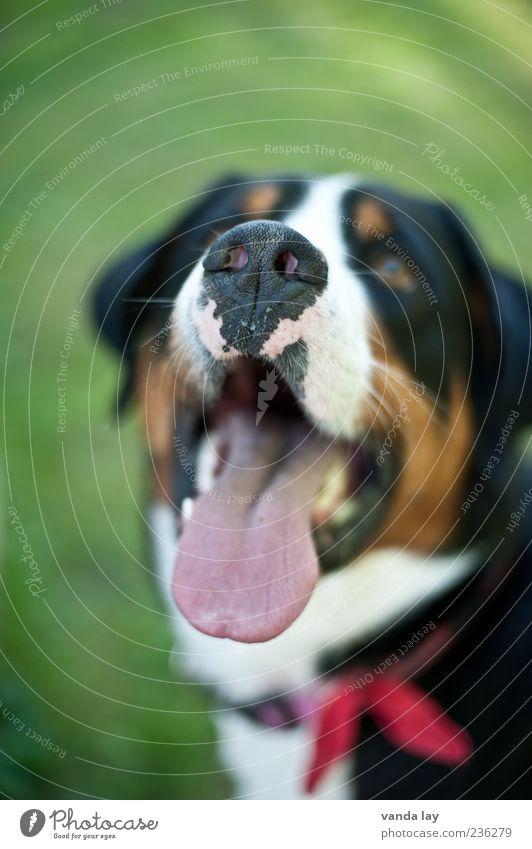 Leckerli Hund Tier schwarz braun Nase Haustier Zunge Halsband Hundeschnauze