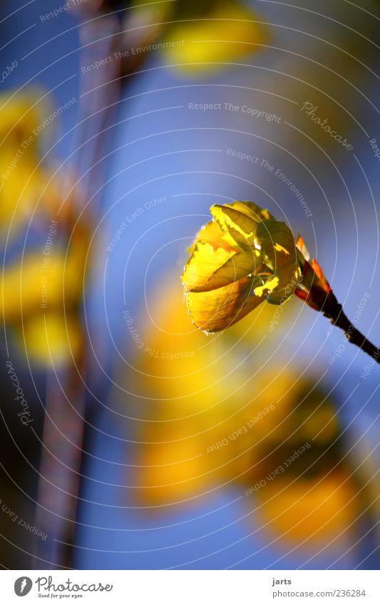 goldgelb Natur Pflanze Frühling Blühend natürlich ruhig Farbfoto Außenaufnahme Nahaufnahme Detailaufnahme Menschenleer Textfreiraum links Textfreiraum oben