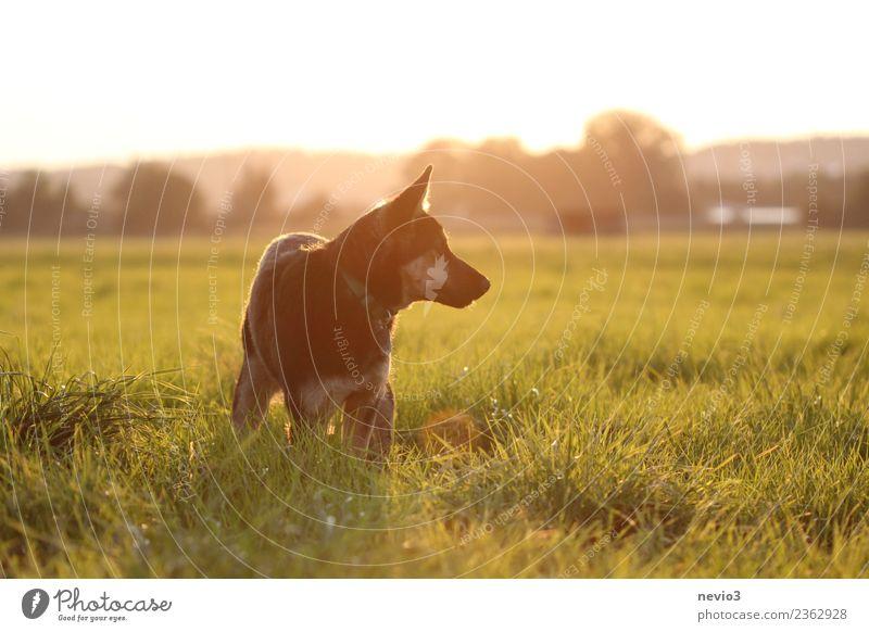 Junger Deutscher Schäferhund im Licht der untergehenden Sonne Umwelt Natur Landschaft Sonnenaufgang Sonnenuntergang Frühling Sommer Gras Wiese Tier Haustier