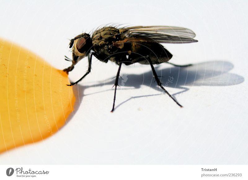 Fliege Tier gelb Fliege Flügel Tropfen Fressen Honig Insekt Nahrungssuche Perspektive Lichterscheinung Vor hellem Hintergrund
