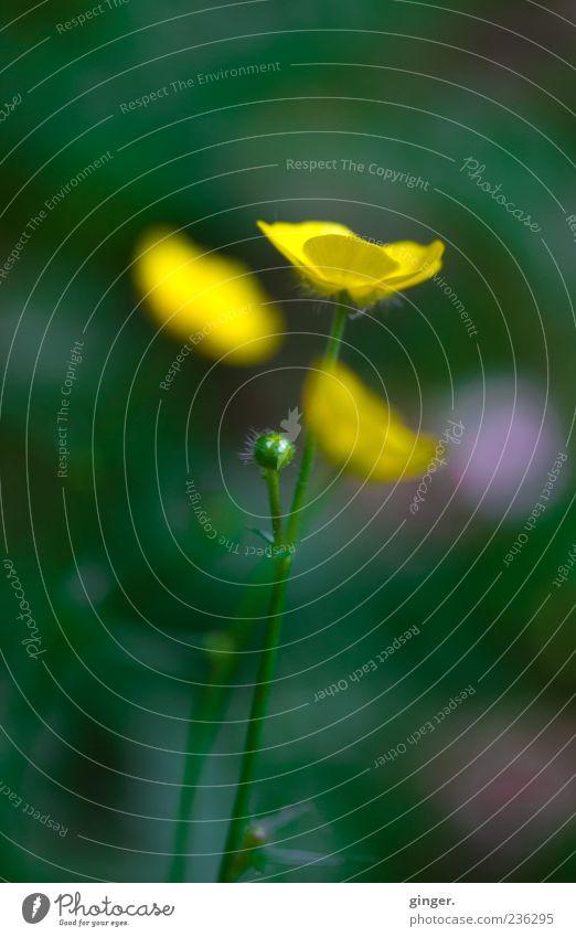 Addiction Umwelt Natur Pflanze Frühling Sommer Blume Blüte Wildpflanze Wachstum gelb Sumpf-Dotterblumen grün hell Unschärfe Textfreiraum oben Farbfoto