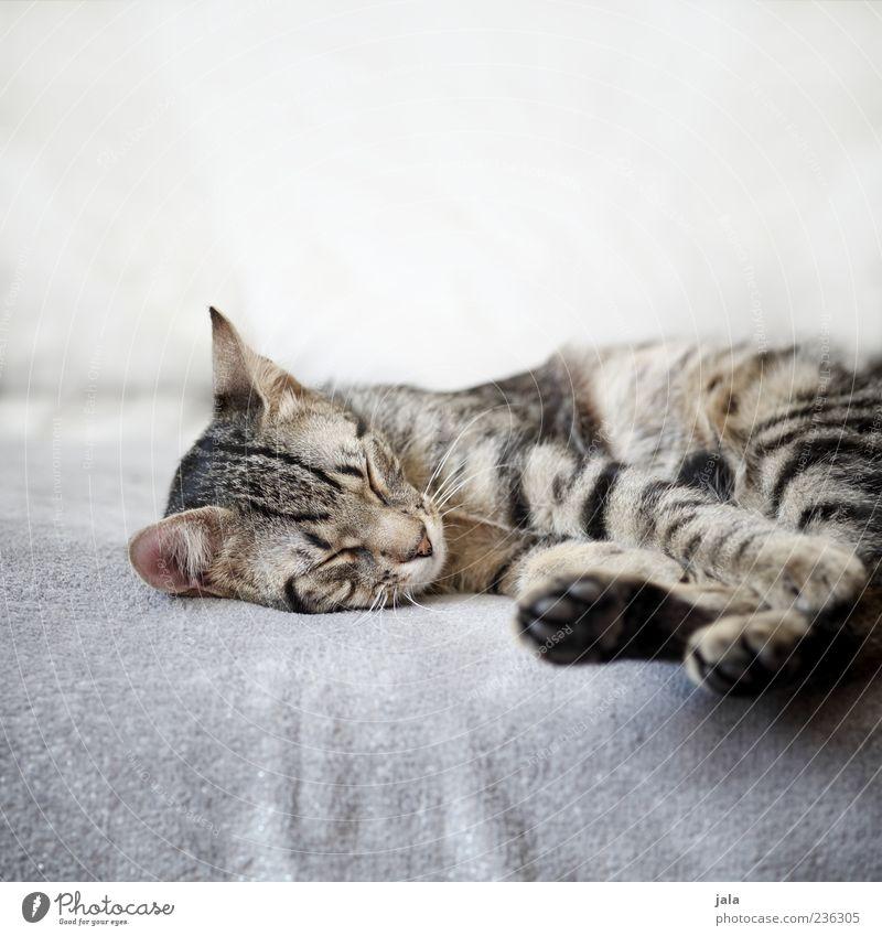 schlaf gut! Sofa Tier Haustier Katze Tiergesicht Fell Pfote 1 genießen schlafen Vertrauen Sicherheit Hauskatze Farbfoto Innenaufnahme Menschenleer
