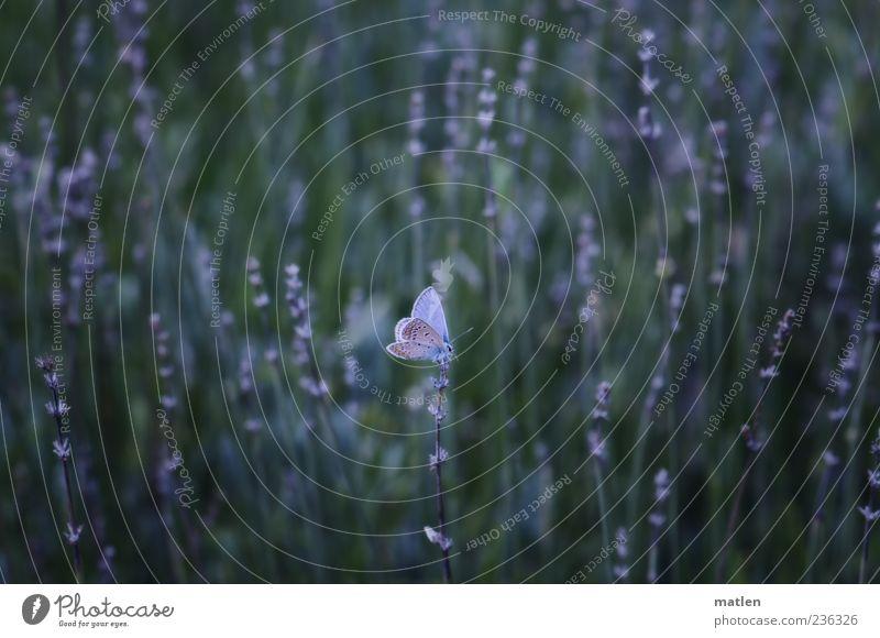bleu blau grün Pflanze Sommer Tier Schmetterling Lavendel
