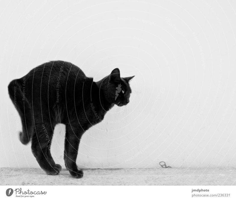 black cat Tier Haustier Katze 1 beobachten listig schwarz weiß Wachsamkeit ästhetisch Spannung Bogen gespannt Pfote angriffslustig Angriff Spielen