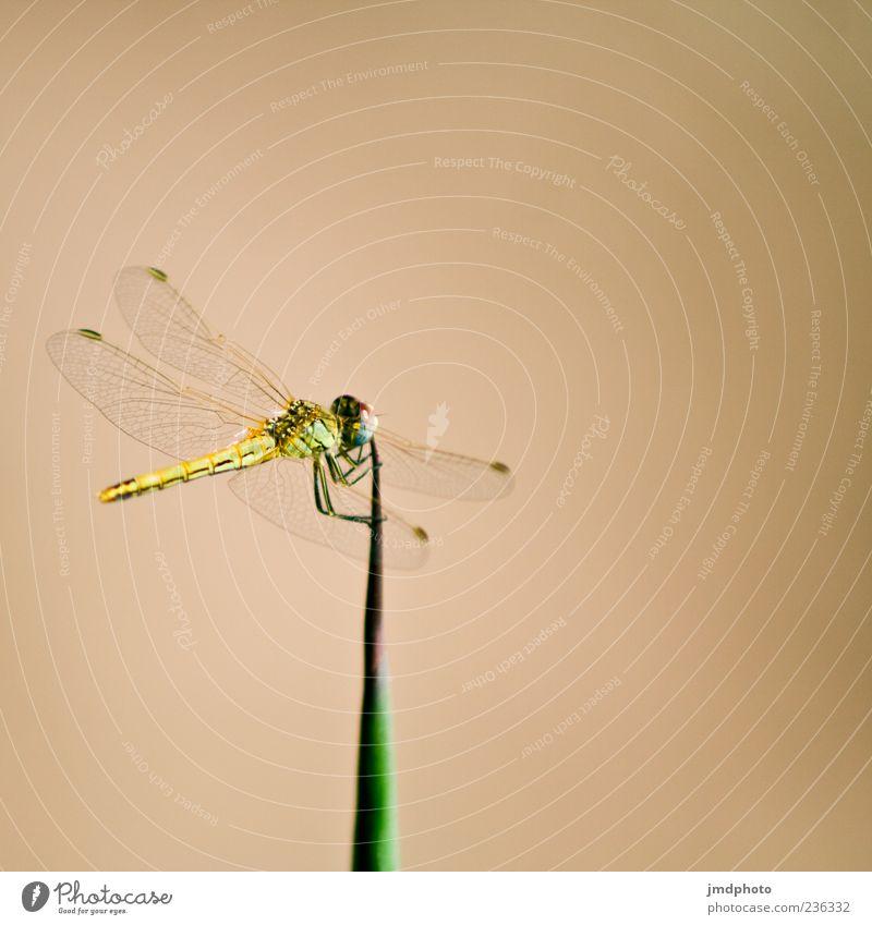 Libelle II Tier Libellenflügel Insekt 1 Flügel Halm Farbfoto Außenaufnahme Detailaufnahme Tag Tierporträt Hintergrund neutral Menschenleer Makroaufnahme