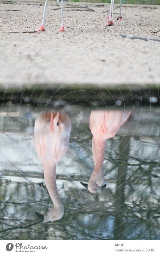 Flamingos [LUsertreffen 04|10] Natur blau Wasser Tier Umwelt Sand See rosa Tierpaar außergewöhnlich Seeufer exotisch Schnabel verdreht verkehrt
