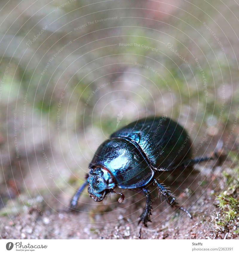 Skarabäus Natur Waldboden Boden Tier Käfer Mistkäfer Insekt Waldmistkäfer Beine 1 krabbeln glänzend klein schwarz Waldstimmung Unschärfe Makroaufnahme Farbfoto