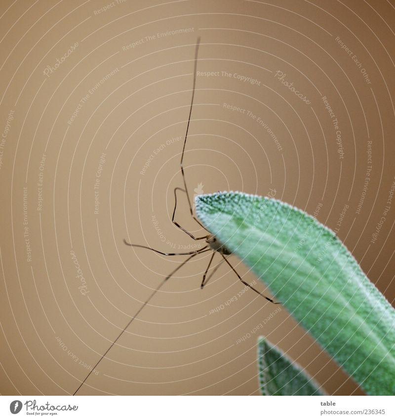 Spinnenbein an Salbeiblatt Natur grün Pflanze Blatt Tier Leben Lebensmittel grau braun Wildtier natürlich ästhetisch Wachstum einzigartig beobachten dünn