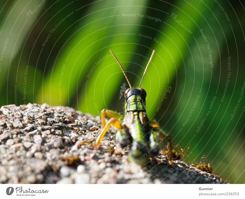 die Flucht ist schon geplant,... Tier Wildtier Heuschrecke Insekt 1 gelb grau grün schwarz beobachten Sonnenbad Gras steinig Stein warten Auge Fühler Beine