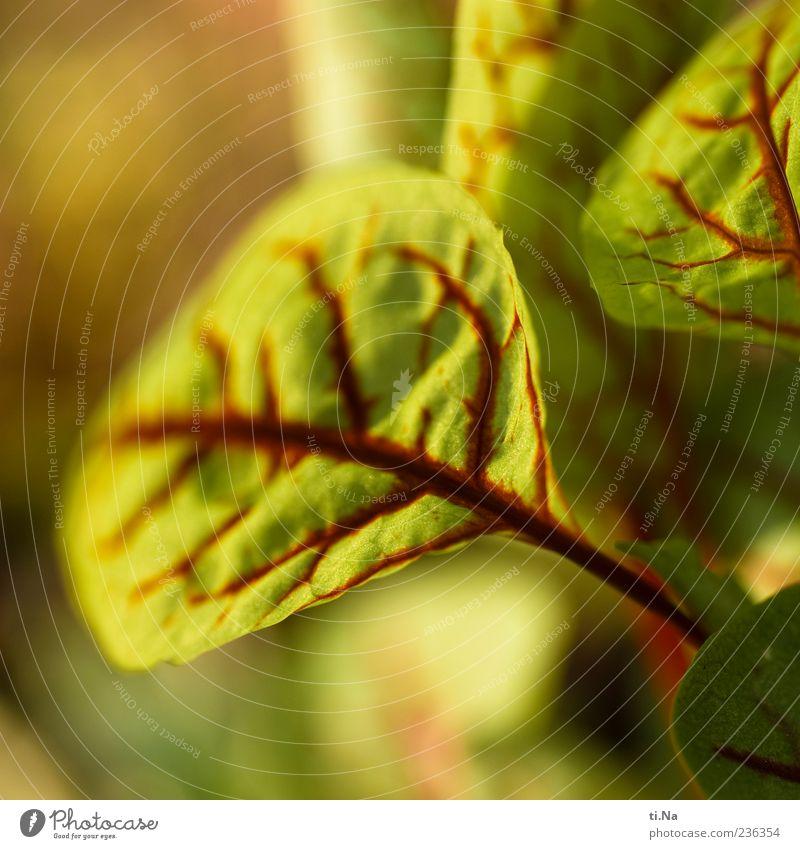 Blutampfer grün rot Pflanze Blatt Frühling Gesundheit Wachstum Blattadern Nutzpflanze