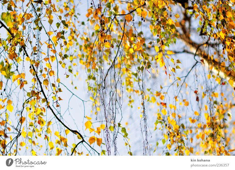 herbst Pflanze Wolkenloser Himmel Baum Blatt blau braun gelb gold Herbst Herbstlaub herbstlich Herbstfärbung Birkenblätter Farbfoto Außenaufnahme Menschenleer
