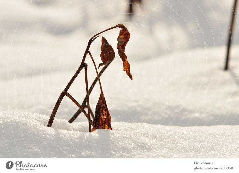 winter Natur weiß Pflanze Winter Blatt Schnee braun gold glänzend Schneelandschaft welk Schneedecke Winterlicht