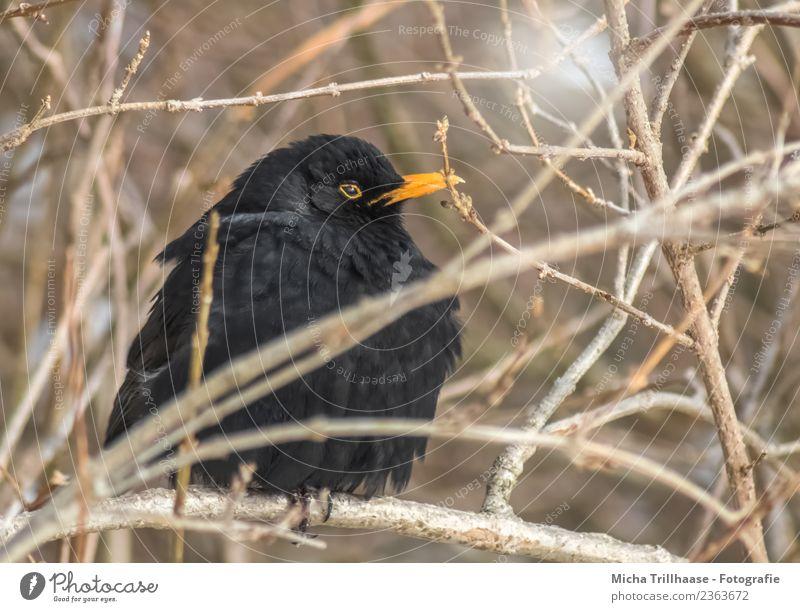 Aufgeplusterte Amsel Natur Sonne Baum Tier schwarz gelb Umwelt Auge kalt Vogel orange Wildtier sitzen Feder Sträucher Schönes Wetter